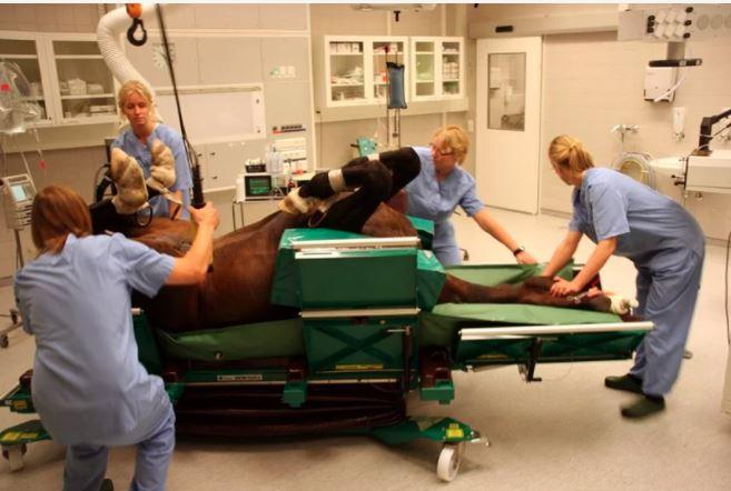stół operacyjny dla koni